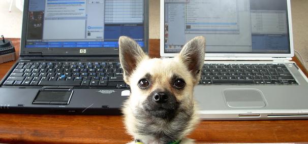 hond vraagt om aandacht met op de achtergrond twee laptops